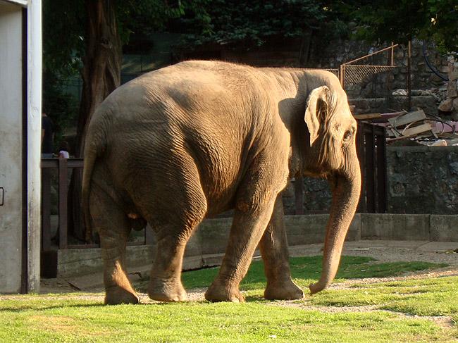 Слон в Белградском зоопарке